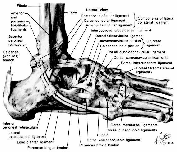 Figure 2: Lateral ankle ligaments