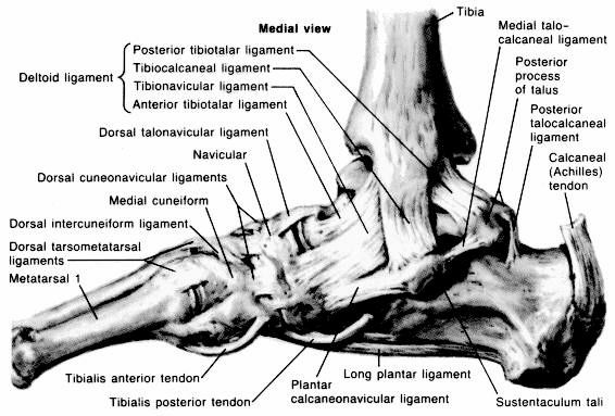 Figure 1:Medial Ankle ligaments